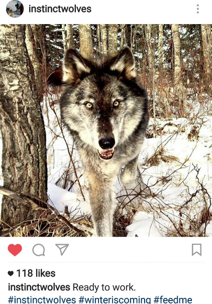 wolf game of thrones